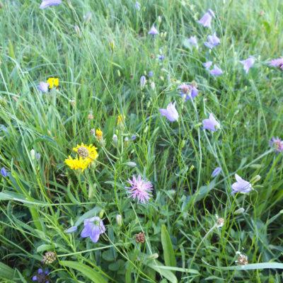 Blütenreiche Blumenwiese